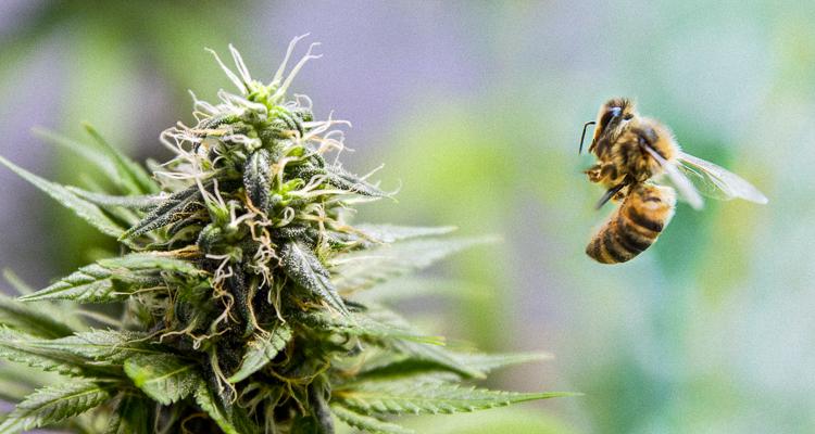 bees-cannabis-marijuana-mcig